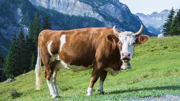 Kühe brauchen Hörner