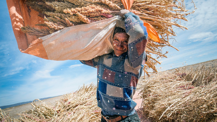 Quineaernte in Bolivien